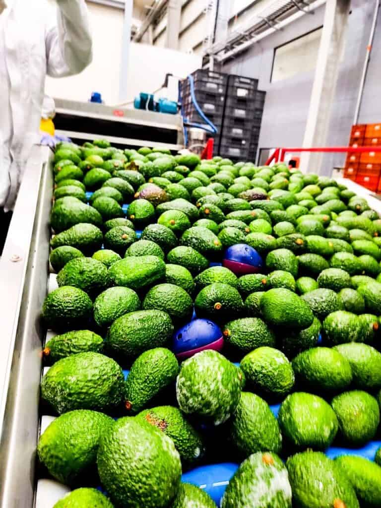 ImpacTrack electronic avocados travel down the processing line
